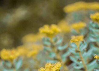 Rhodiola rosea – niezwykłe zioło górskie